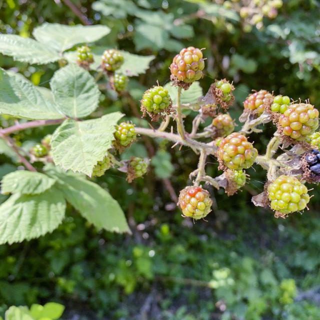 """""""Wild blackberries"""" stock image"""