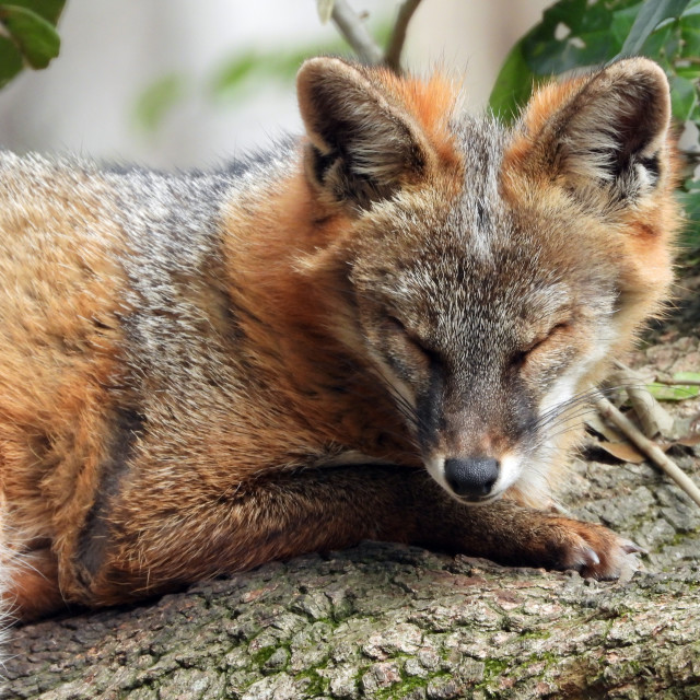 """""""Grey Fox in a Tree, closer view"""" stock image"""