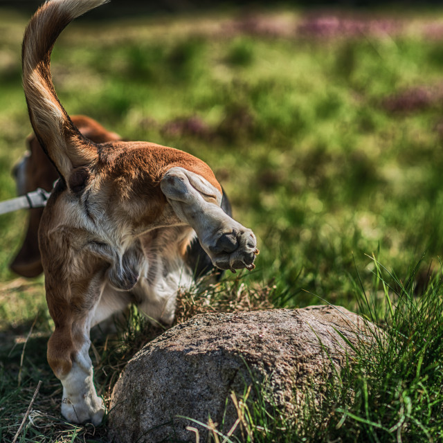 """""""Dog pee standing up, viewed from backwards"""" stock image"""