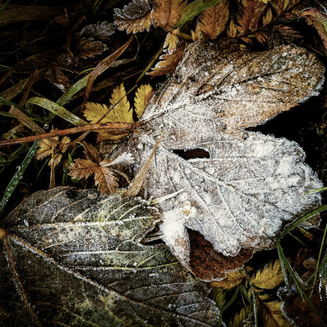 """""""Frozen leaves on the forest floor"""" stock image"""