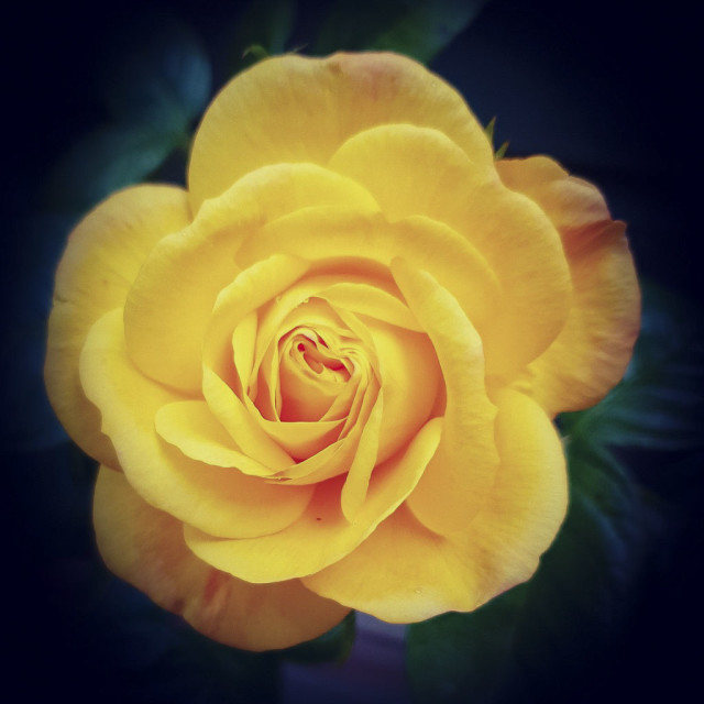 """Yellow rose"" stock image"