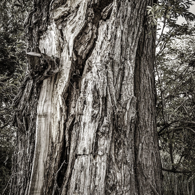 """Old tree with split trunk"" stock image"