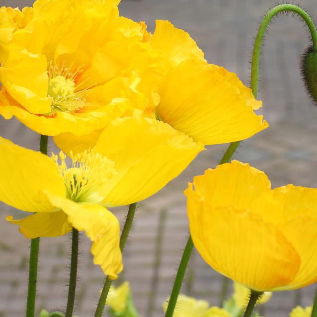 """Yellow Icelandic Poppies"" stock image"