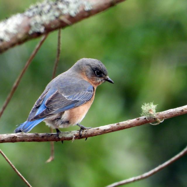 """Eastern Bluebird - female"" stock image"