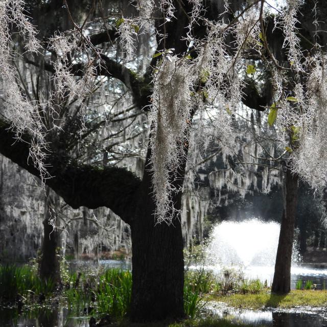 """Moss-Draped Tree with Fountain"" stock image"