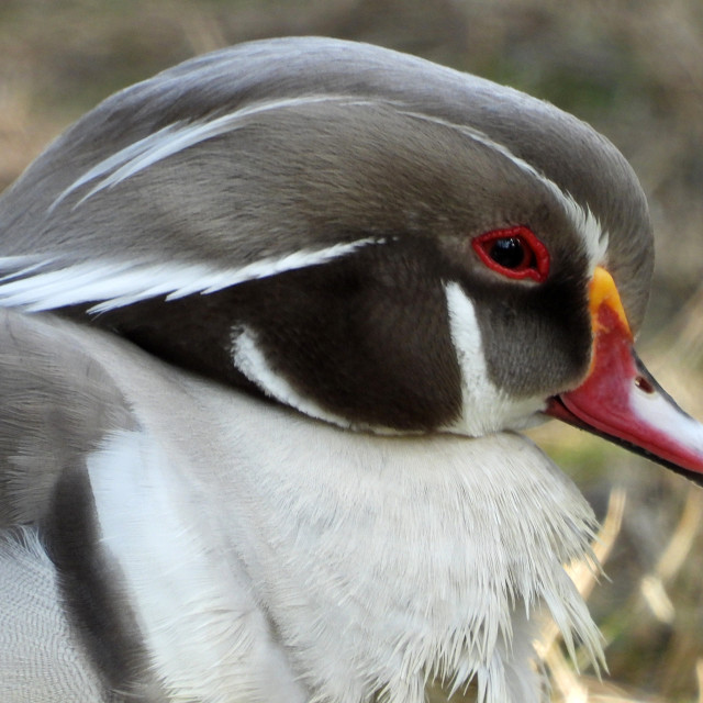 """""""Red-Billed Grey Duck"""" stock image"""