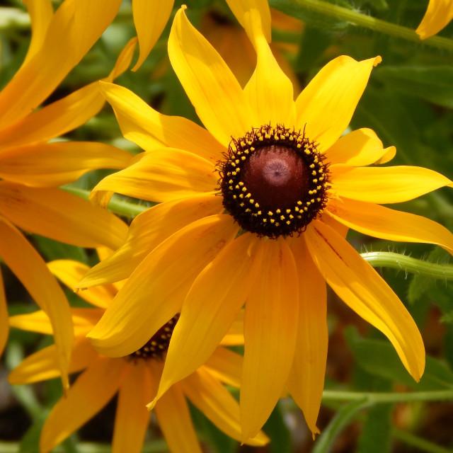 """Black-Eyed Susan Flower Closeup"" stock image"