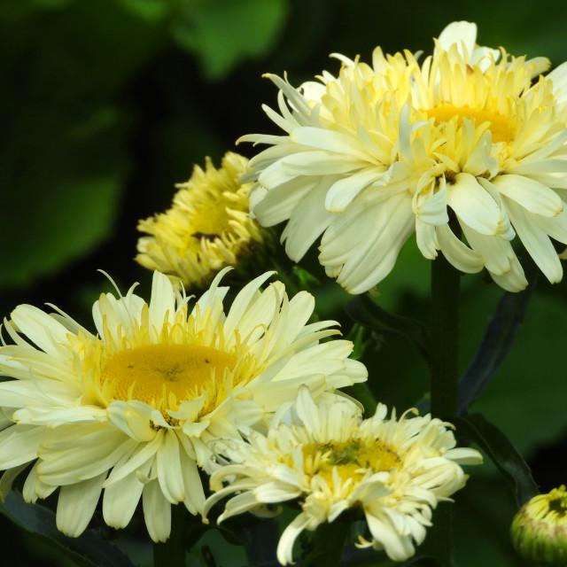 """Pale Yellow Chrysanthemums"" stock image"