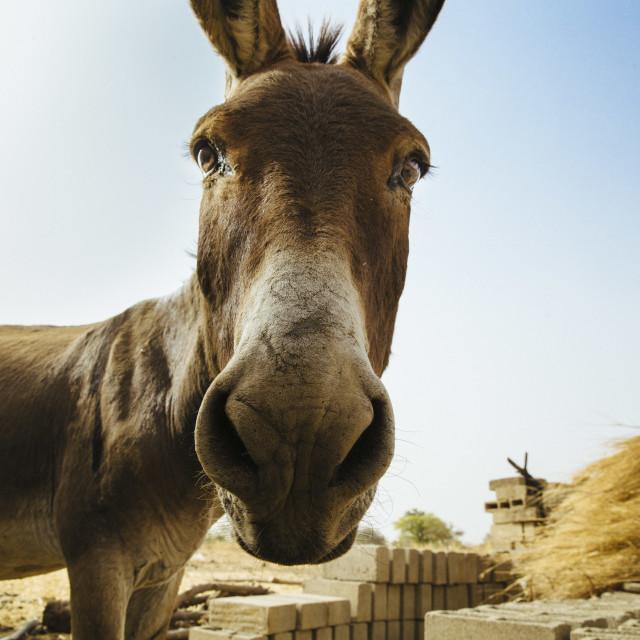 """Curious Donkey in Burkina Faso"" stock image"