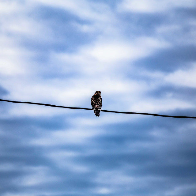 """""""Red-Shouldered Hawk perched before a beautiful sky"""" stock image"""