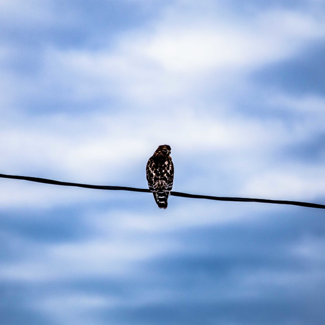 """""""Red shouldered hawk perched before a powerful sky"""" stock image"""