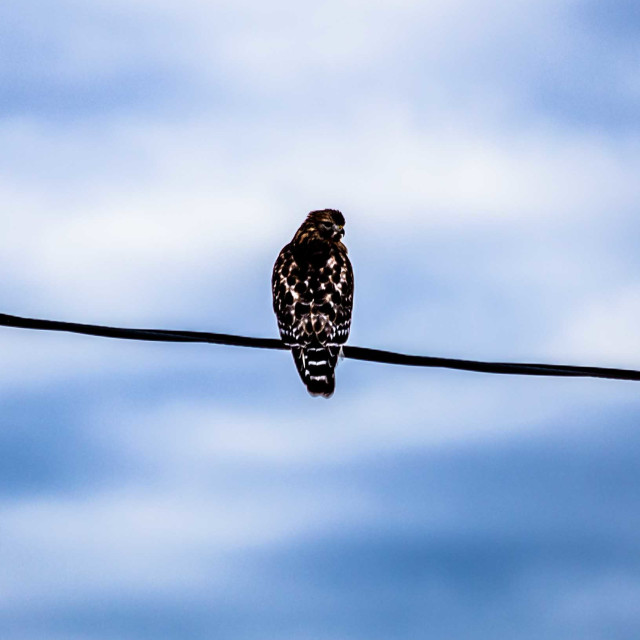 """""""Red shouldered hawk perched before a powerful sky, cropped in"""" stock image"""