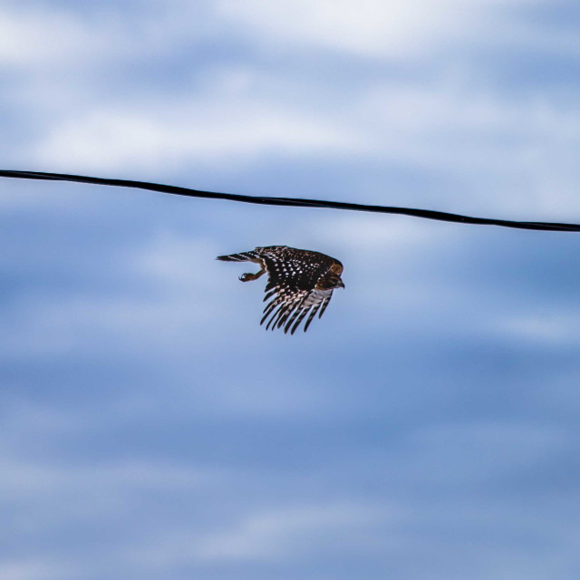 """""""Red shouldered hawk in the first moments of flight"""" stock image"""