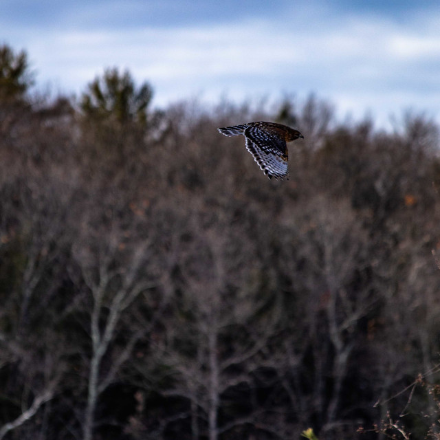 """""""Red shouldered hawk flying over a field"""" stock image"""