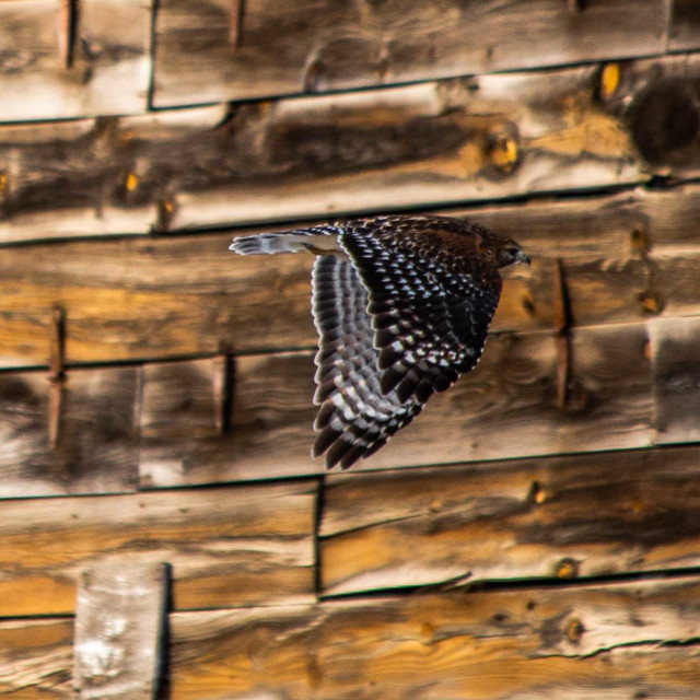 """""""Red shouldered hawk in flight in front of a historic tobacco barn"""" stock image"""