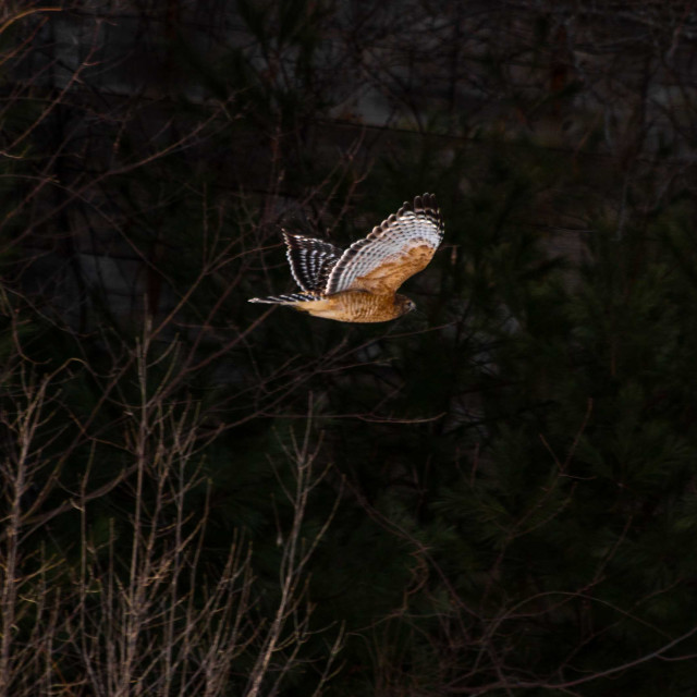 """""""Red shouldered hawk in flight in front of historic tobacco barn"""" stock image"""
