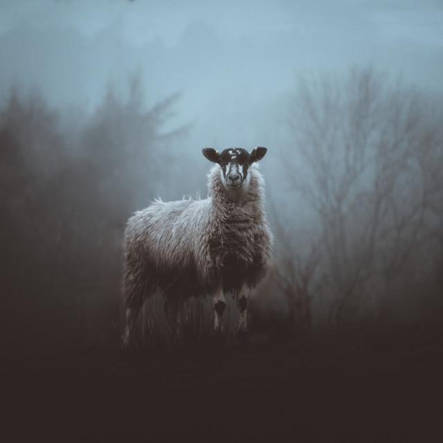 """Edale Sheep"" stock image"