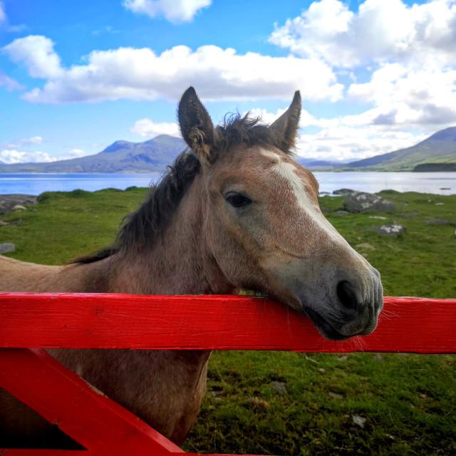 """""""Connemara pony"""" stock image"""