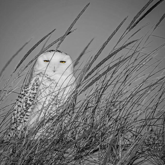 """""""Snowy Owl B/W"""" stock image"""
