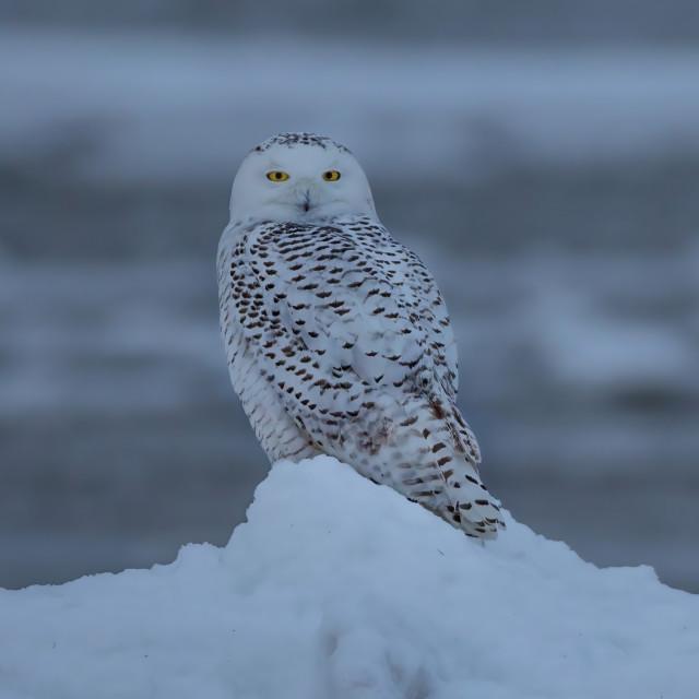 """Snowy owl 3"" stock image"