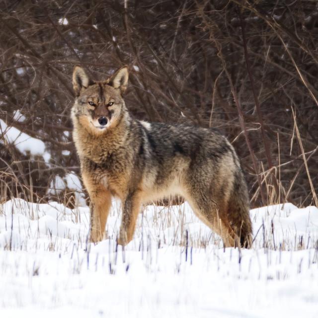 """Eastern Coyote"" stock image"