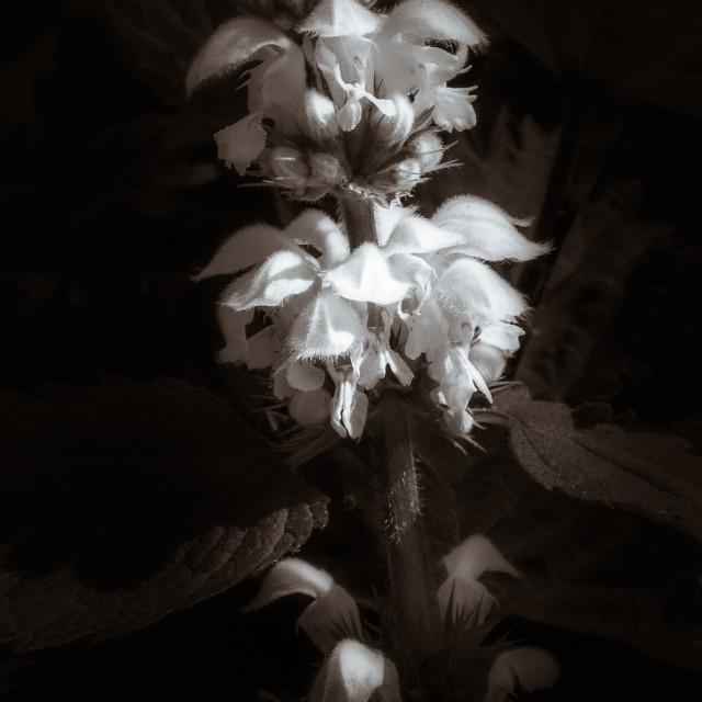 """""""White dead-nettle"""" stock image"""