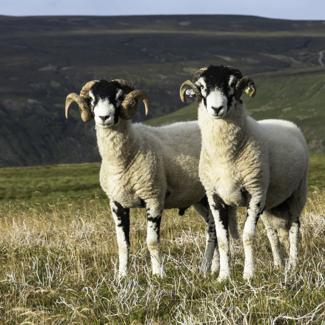 """""""Two Swaledale tups"""" stock image"""