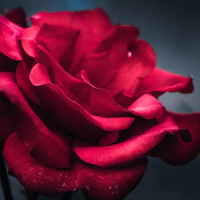 """Red Rose from war memorial, Cambridge UK."" stock image"