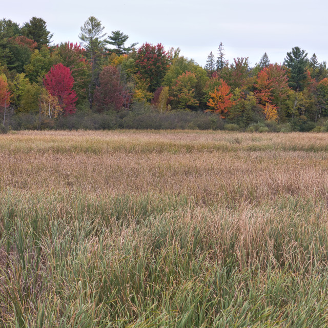 """Tall marsh grass and trees in autumn; Ottawa, Ontario, Canada"" stock image"