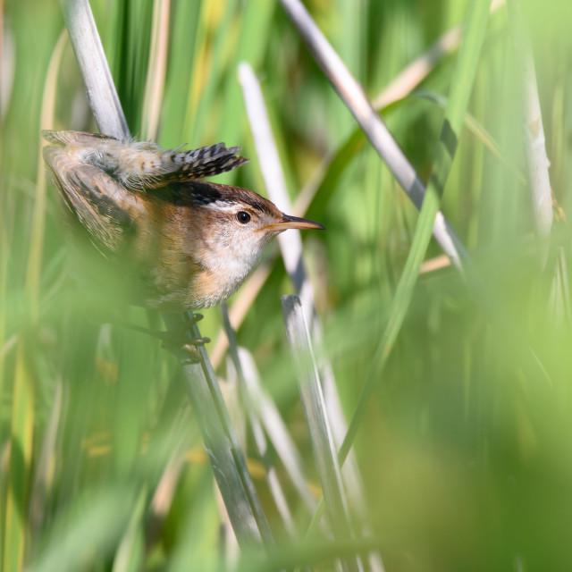 """Angry Marsh Wren Deep in Reeds"" stock image"