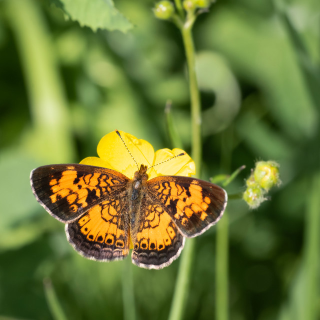 """Northern Crescent Butterfly Perched on Buttercup Flower"" stock image"