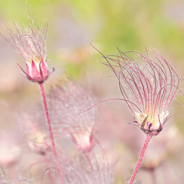 """""""Prairie Smoke Wildflowers"""" stock image"""