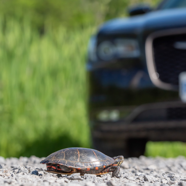 """Midland Painted Turtle Crossing Road"" stock image"