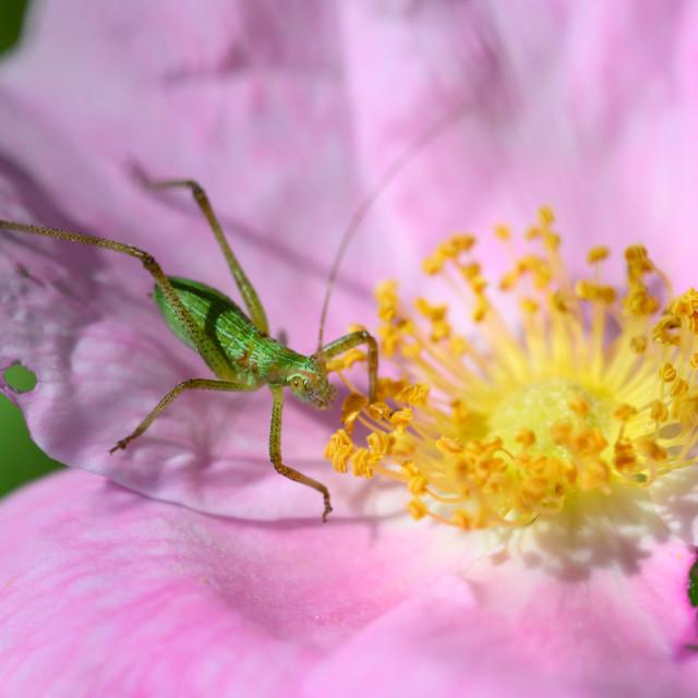 """Scudder's Bush Katydid on Wild Rose"" stock image"