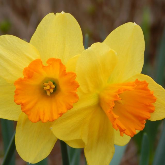 """Bright Yellow and Orange Daffodils"" stock image"
