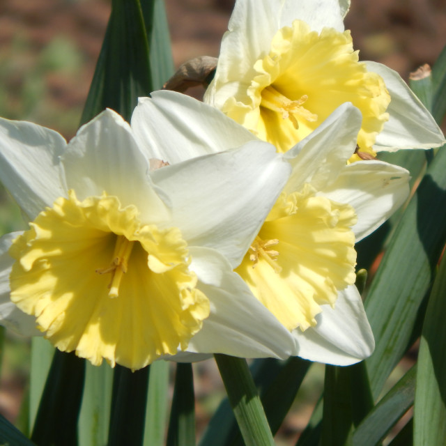 """""""Triple White with Yellow Daffodils"""" stock image"""
