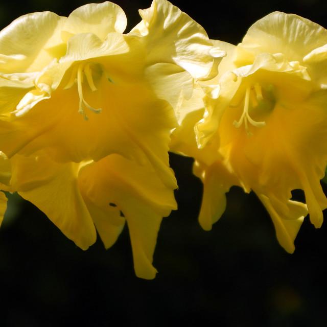 """""""Rounded Yellow Gladiolus"""" stock image"""