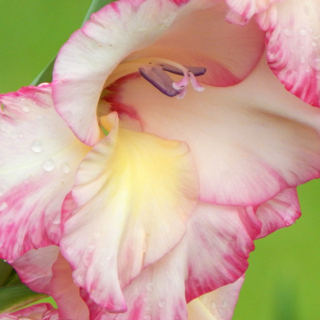 """Pink and White Gladiolus, extreme closeup"" stock image"