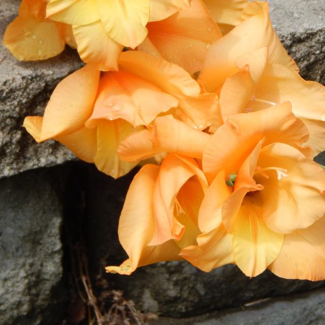 """Peach-Colored Gladiolus"" stock image"