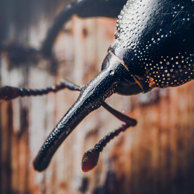 """Closeup of a Banana Stem Weevil"" stock image"