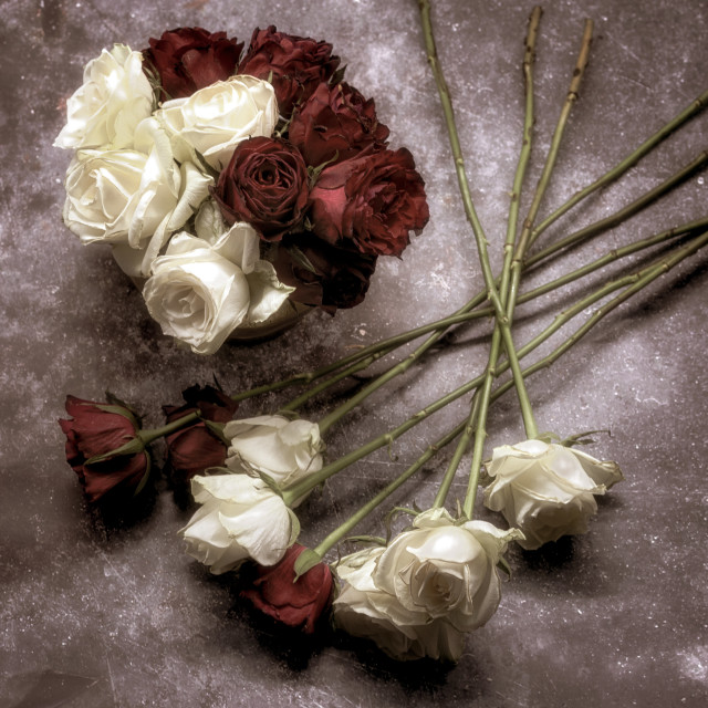 """""""Red and White Roses"""" stock image"""