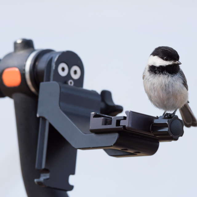 """Black-capped Chickadee Perched on Tripod"" stock image"