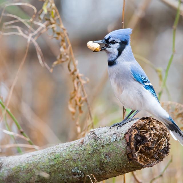 """Blue Jay With Peanut"" stock image"