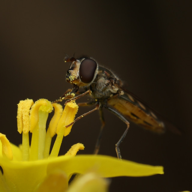 """Hoverfly on pretty yellow flower"" stock image"