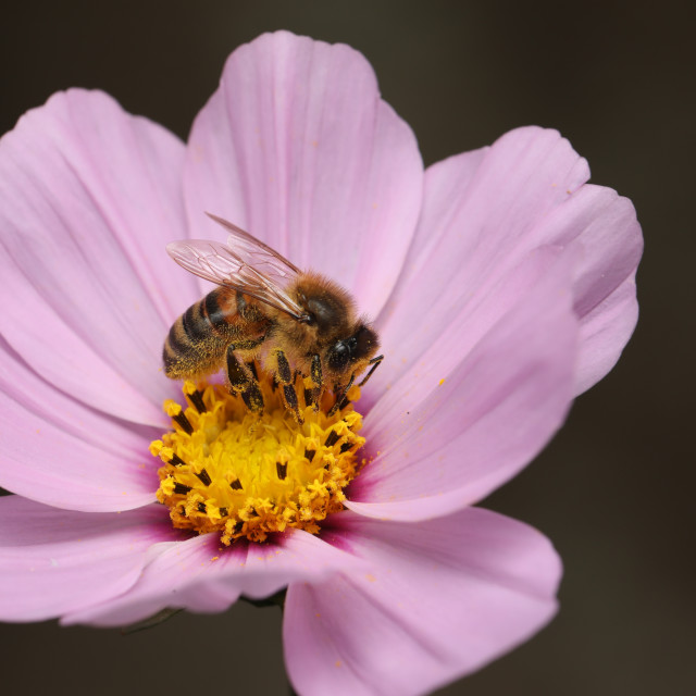 """Bee rested on pink flower"" stock image"