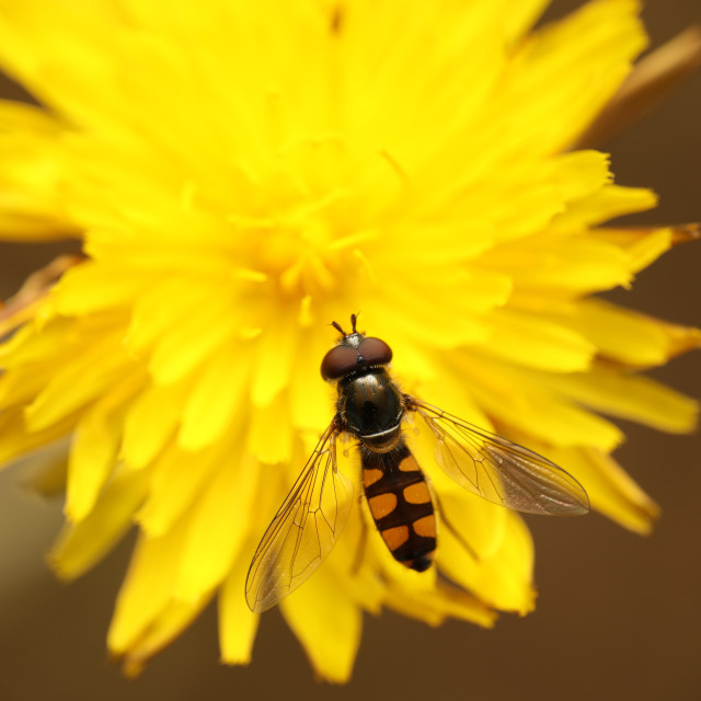 """Hoverfly resting"" stock image"