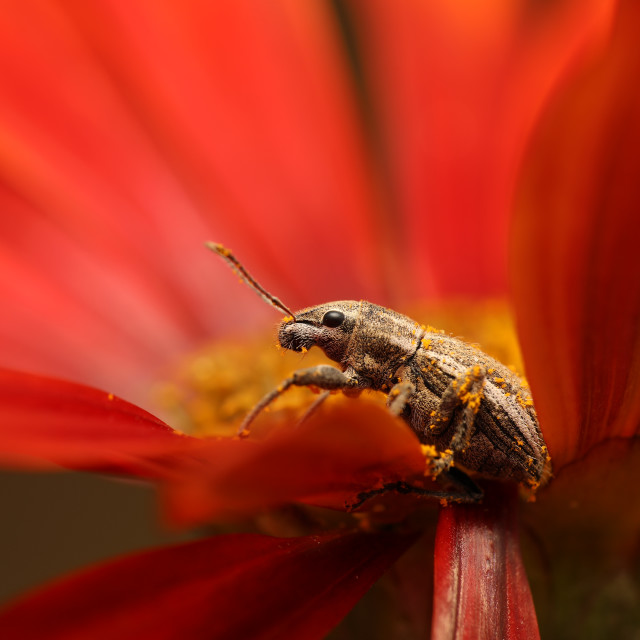 """Weevil resting on a red flower"" stock image"