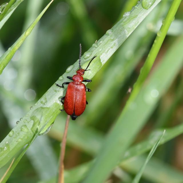 """Red-headed Cardinal Beetle"" stock image"