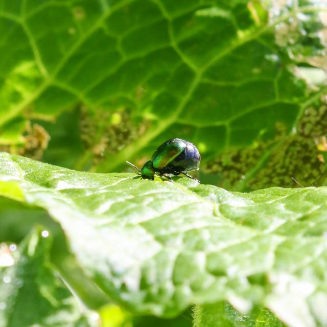 """Green Dock Leaf Beetle"" stock image"