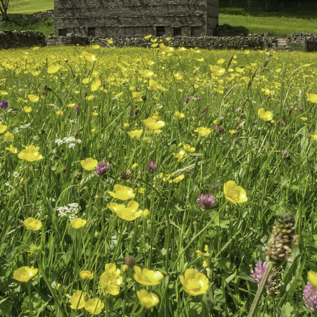 """""""Hay Meadow at Muker"""" stock image"""